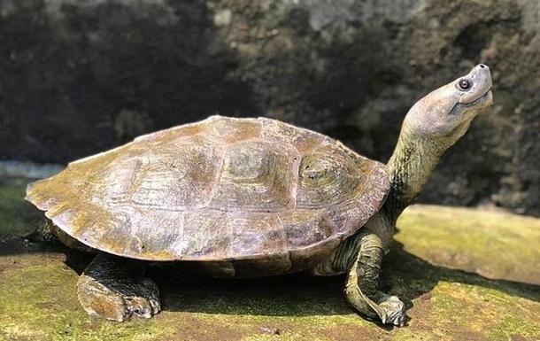 Редкие  улыбающиеся  черепахи спасены от вымирания
