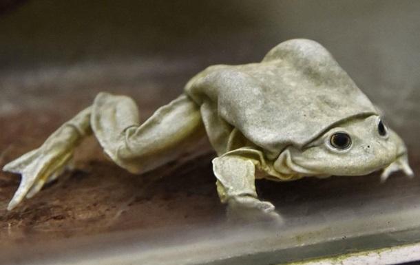 Порносайт спасает вымирающих лягушек-мошонок