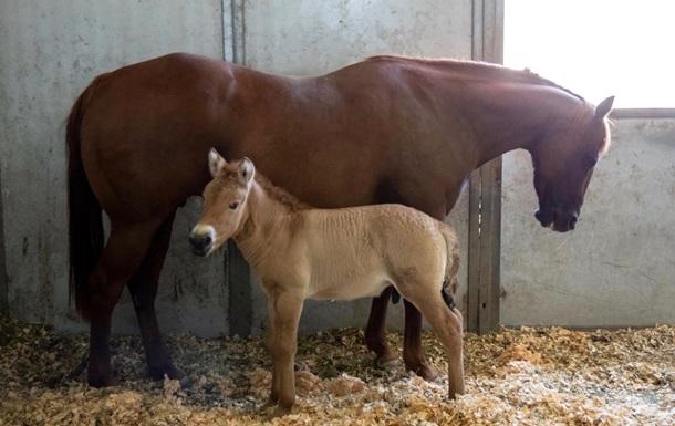 У США клонували померлого коня Пржевальського