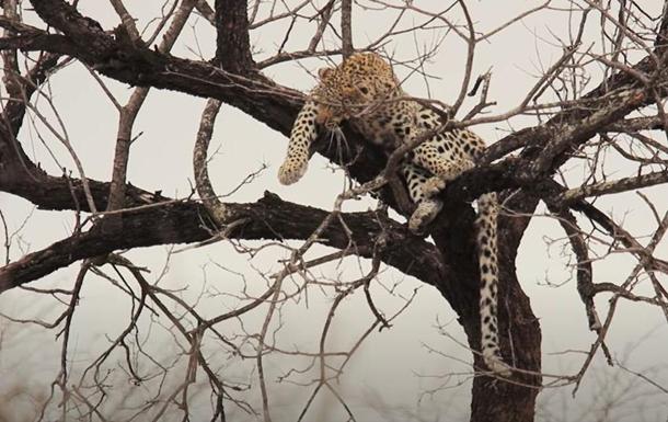 В ЮАР леопард сбежал от бабуинов на дерево