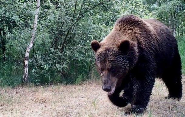 В Чернобыль впервые за сто лет вернулись медведи