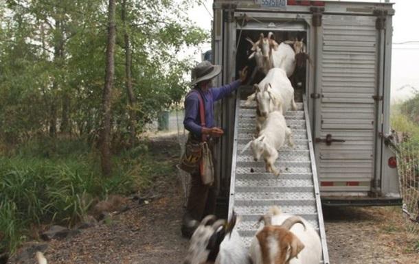 Спасать жителей штата Орегон от пожаров будут козы