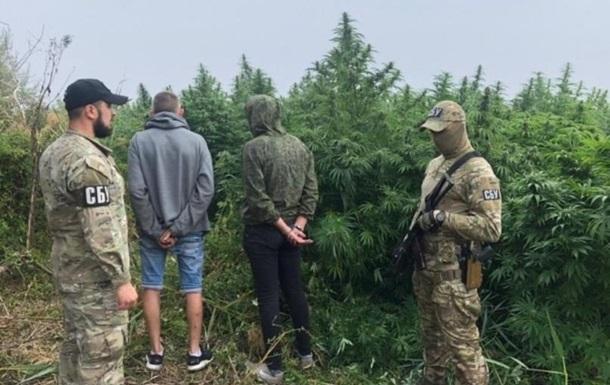 Рекордну «плантацію»  конопель виявили місцеві СБУшники на Херсонщині