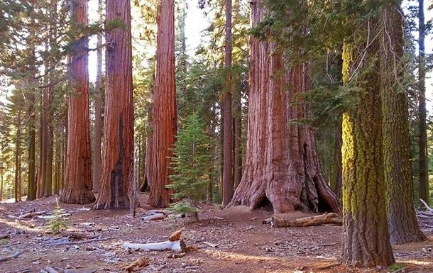 Ученые подсчитали биомассу самых больших деревьев на Земле