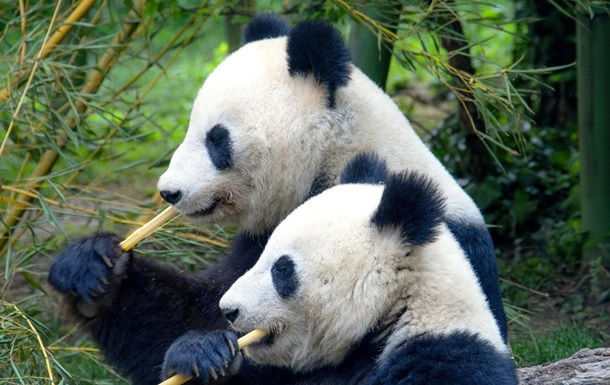 Секс панд на воле впервые сняли на видео в Китае