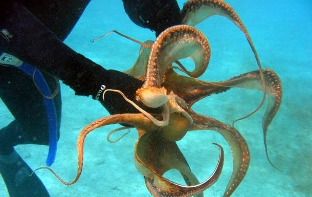 Ученые раскрыли загадку необычного мозга осьминогов