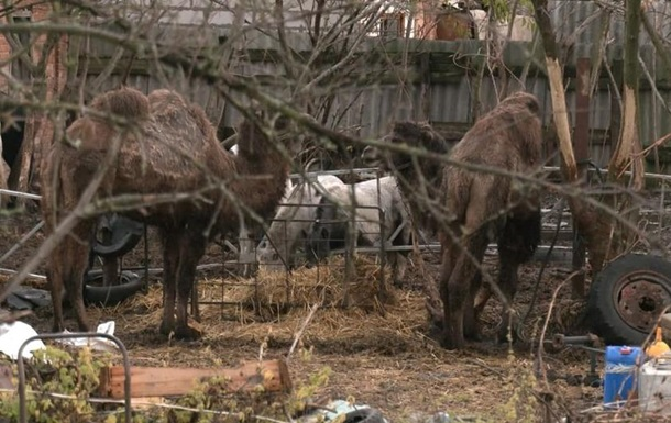 На Харківщині верблюди псують урожай