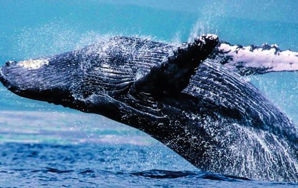 В Австралии заметили горбатых китов в реке