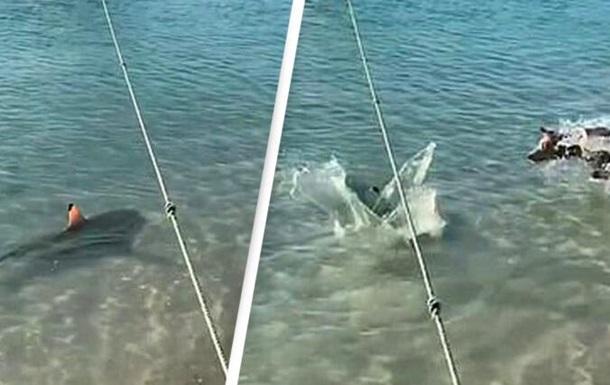 В Австралии сняли на видео бросок пса на акулу