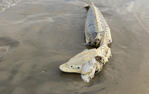 К побережью прибило редчайшую доисторическую рыбу