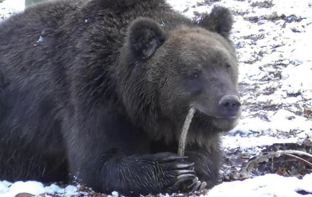 В Галицком лесу медведи залегают в зимнюю спячку
