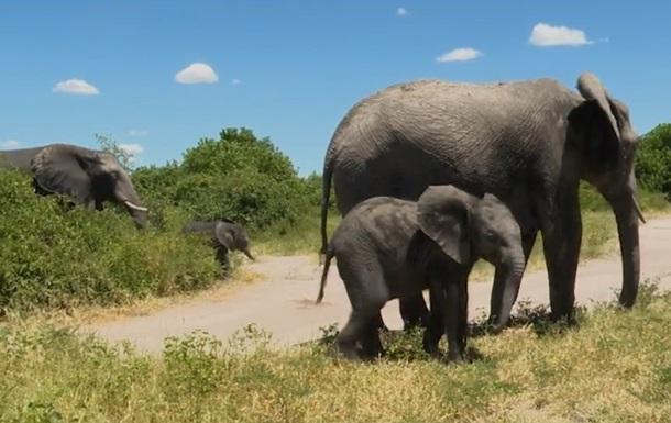 Влада Намібії продає десятки слонів з аукціону