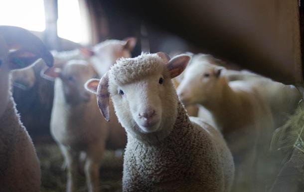В британский отель пробралась овца