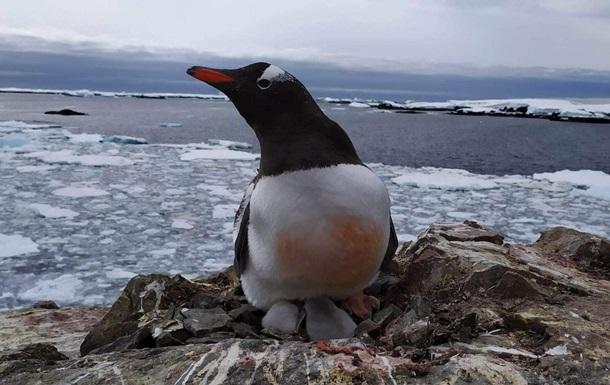 В Антарктиде возле украинской станции появились пингвинята