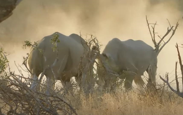 В ЮАР туристы сняли на видео драку носорогов