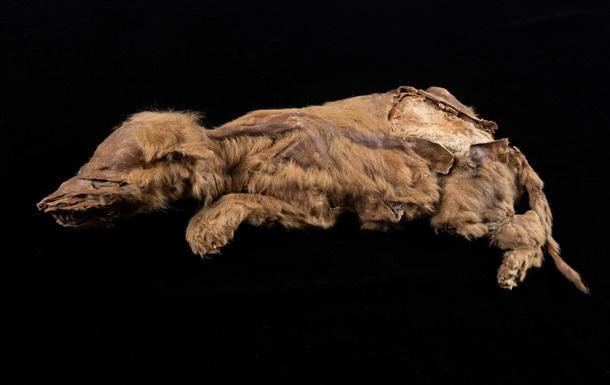 На руднике в Канаде нашли мумию древнего волка