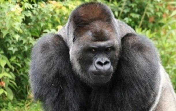 Вперше в світі: в американському зоопарку горили заразилися COVID-19