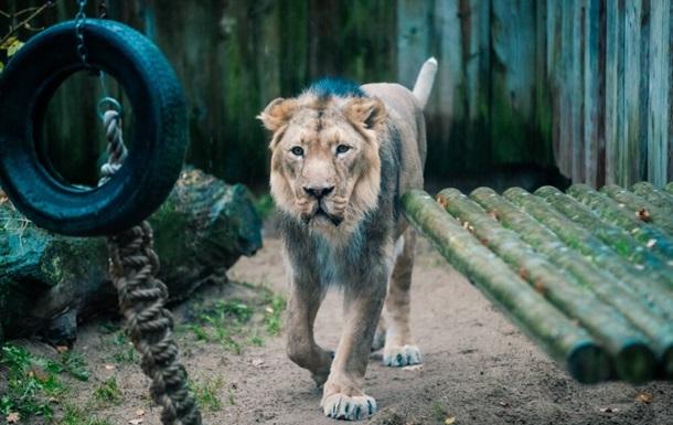В зоопарке Таллинна у льва был диагностирован коронавирус