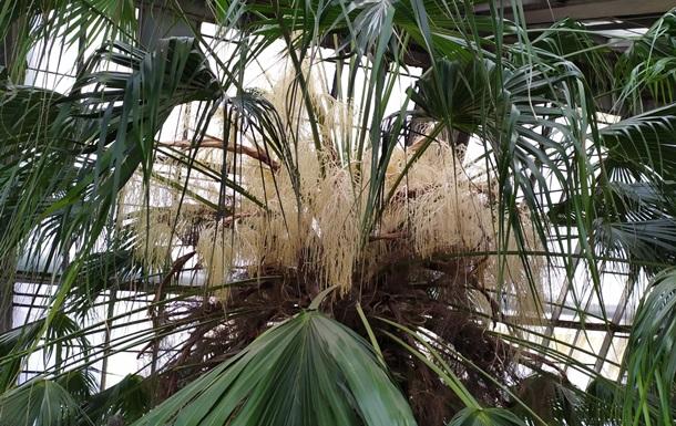 У ботсаду Києва зацвіла 200-річна пальма