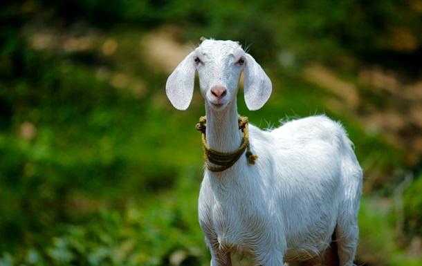 Британка заработала $68 000 на продаже видеозвонков с козами