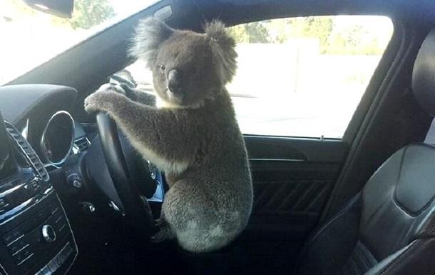 В Австралії коала  влаштувала  ДТП