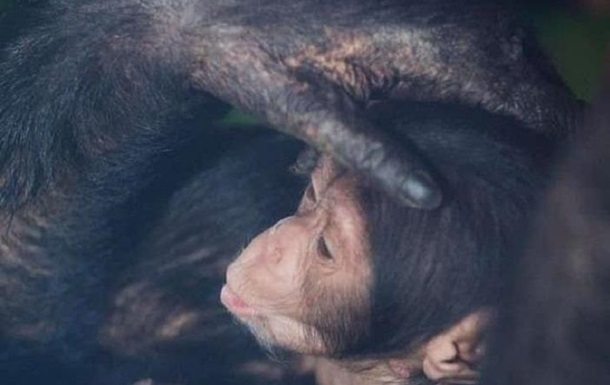 У Харкові вперше показали малюків шимпанзе