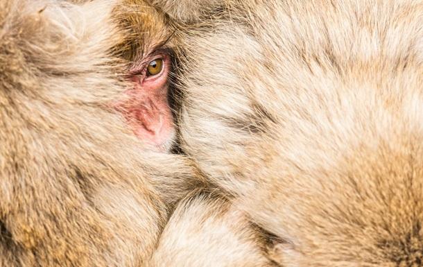 У США оголосили про брак мавп для випробування вакцин від COVID