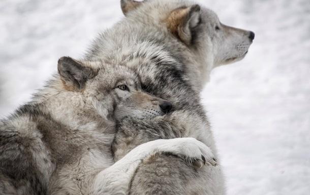 Вбивство понад 200 вовків викликало обурення в США