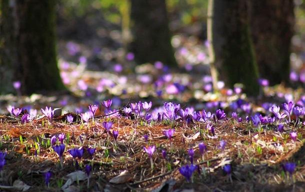 На Закарпатті масово цвіте шафран