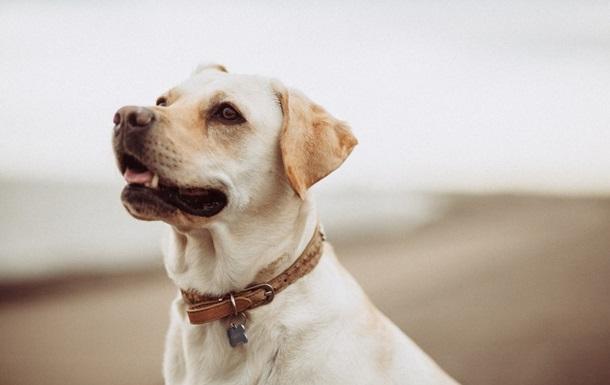 У Польщі коронавірус виявлятимуть за допомогою собак