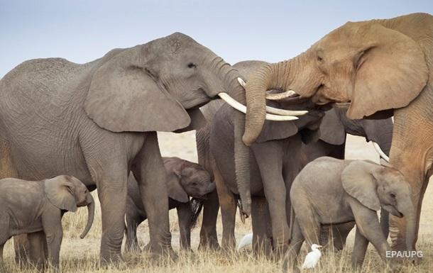 Африканські слони перебувають на межі вимирання