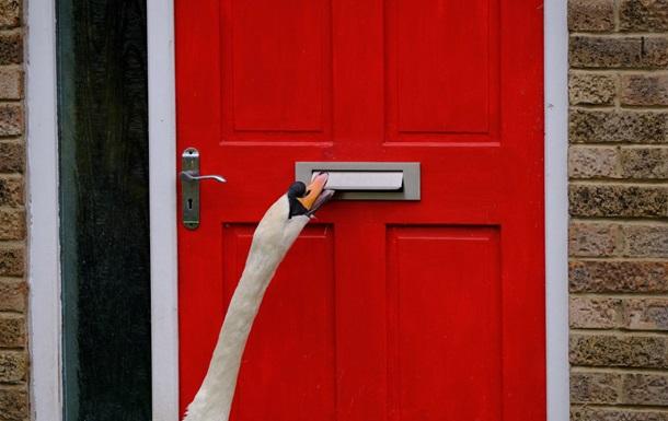 Лебедь-дебошир сводит с ума британцев