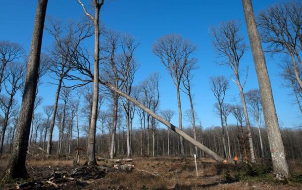 Во Франции срезают 200-летние дубы для Нотр-Дама