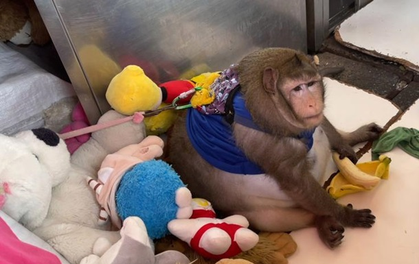 Товсту мавпу відправили в  табір схуднення