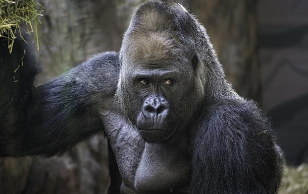 Ученые выяснили, зачем гориллы бьют себя в грудь