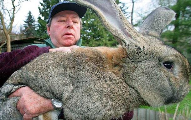 Крадіжка у Великобританії: викрадений найбільший кролик у світі
