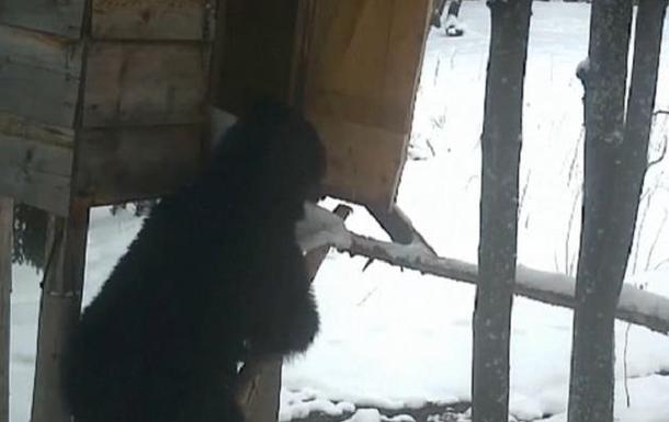 В Румынии опубликовали забавное видео медведя-вора