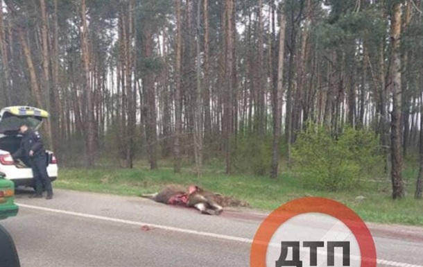 Под Киевом авто на скорости сбило лося. 18+