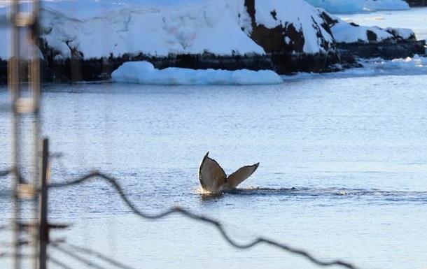 Полярную станцию Академик Вернадский посетили киты