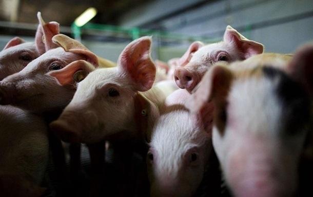 Украина запретила ввоз свиней из стран ЕС