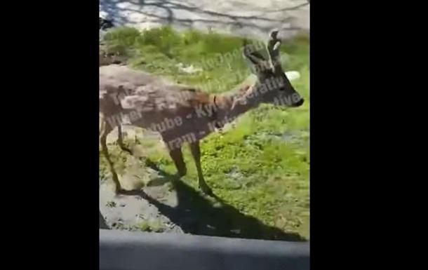 Возле станции метро в Киеве разгуливал олень