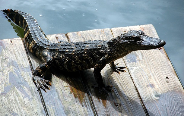 На побережье Кирилловки нашли мертвого крокодила
