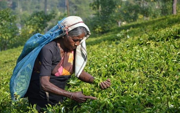 Эксперты считают, что цены на индийский чай могут вырасти