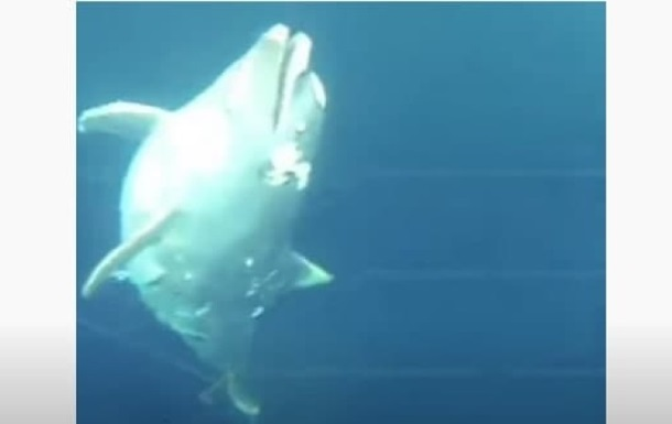 В Черном море обнаружили привязанные к камням трупы дельфинов - соцсети