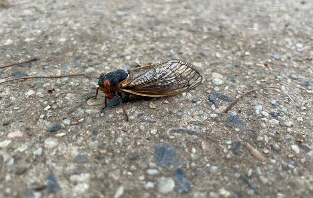 У США нашестя цикад