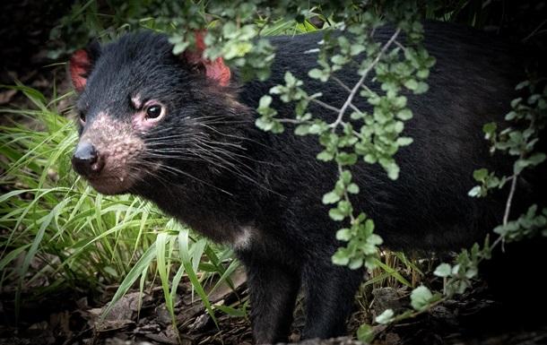 Впервые за 3000 лет: В Австралии родились тасманийские дьяволы