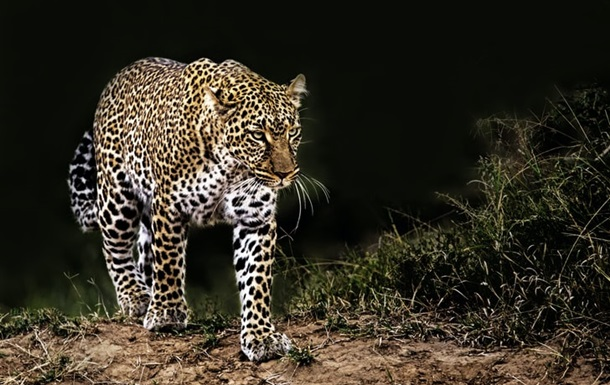 Леопард розірвав дитину в Індії