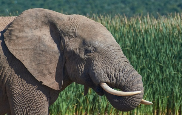 В Індії ловлять слона, який убив 16 осіб