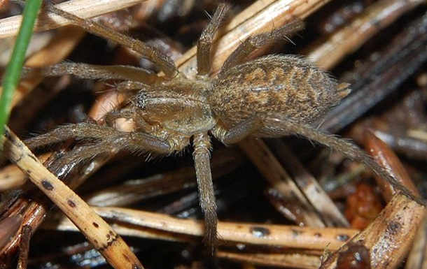 Вчені створили ліки від інфаркту з отрути павуків