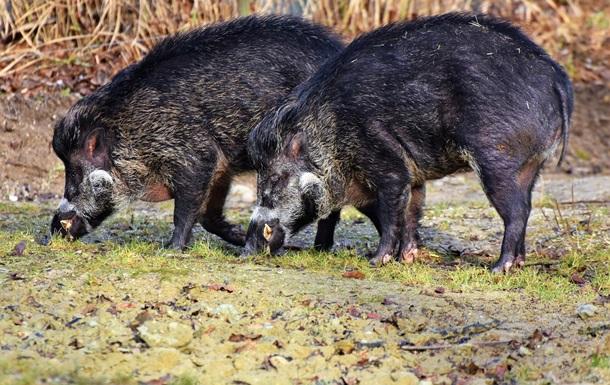 Дикі свині приносять клімату більше шкоди, ніж автомобілі - вчені
